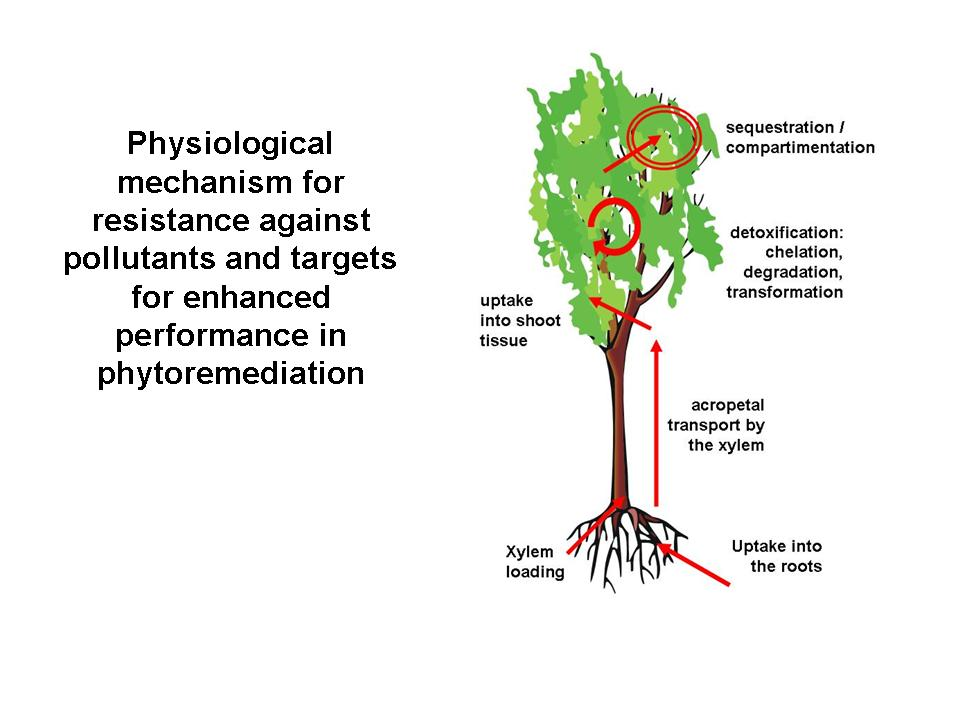 phytoremediation thesis
